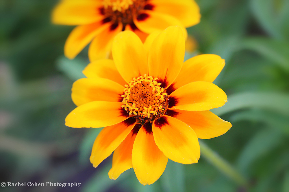 &quot;Count the Stars&quot;<br /> <br /> Just count the stars in the center of this beautiful Zinnia macro!!<br /> Wonderful, vibrant, deep yellow and red hues on a light green background!!<br /> <br /> Flowers and floral images by Rachel Cohen