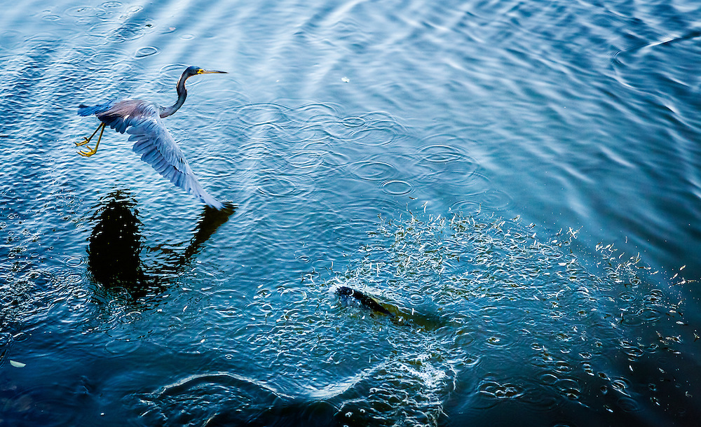 A little blue heron hunts the wake of fish preying on baitfish.<br /> <br /> Image copyright Naples Daily News