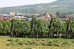 CZECH REPUBLIC MORAVIA DOLNI DUNAJOVICE 10SEP05 - Grapes ripen in the rolling hills of southern Moravia prior to the seasonal wine harvest. Southern Moravia's centuries-old traditions in wine growing make it a well-established wine region...jre/Photo by Jiri Rezac..© Jiri Rezac 2005..Contact: +44 (0) 7050 110 417.Mobile:  +44 (0) 7801 337 683.Office:  +44 (0) 20 8968 9635..Email:   jiri@jirirezac.com.Web:     www.jirirezac.com..© All images Jiri Rezac 2005 - All rights reserved.