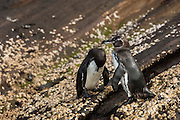 Galapagos penguins (Spheniscus mendiculus) <br /> Isabela Island, Galapagos Islands<br /> ECUADOR.  South America<br /> This is the only penguin to nest entirely within the tropics and in the case of those living on the northern tip of Isabela Island, the only penguins found in the northern hemisphere. They are the third smallest penguin in the world. They live in lava tubes and natural caves and crevices. The females lay one or two eggs and can breed more than once a year if conditions are optimal.<br /> ENDEMIC TO GALAPAGOS ISLANDS