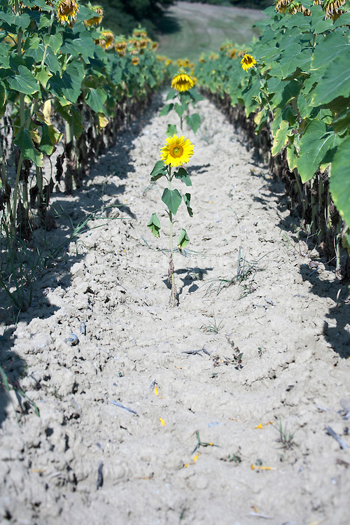 one small lonely sunflower among large sunflower rows