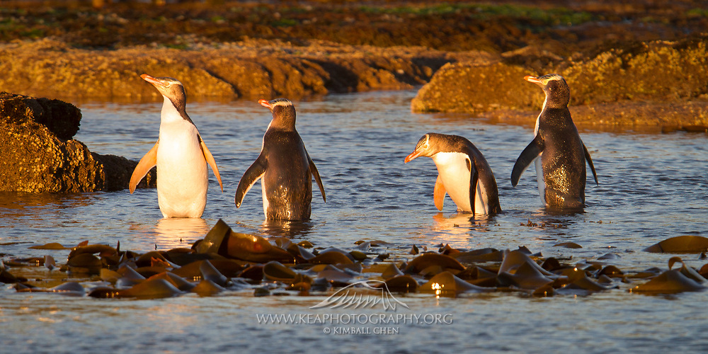 A wide print of a penguin party at Curio Bay, New Zealand!  Endangered yellow-eyed penguins enjoy the golden light after sunrise, before heading into the ocean for the day.