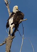 Bald Eagle photographed in Hygiene, Colorado. The eagle is perched on what was once Boulder County's champion plains cottonwood tree - the Gentle Giant of Boulder County. It was the largest living tree of its kind until declared officially dead in 2011.