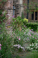 Dierama pulcherrimum (Angel's Fishing Rod) on the terrace at Cothay Manor, Greenham, Wellington, Somerset, UK