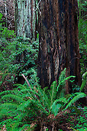 The white and black bark of these redwood trees are tied together by the ubiquitous green of forest life, Muir Woods National Monument