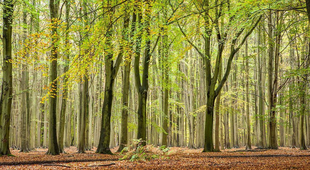 Harding's Rookery. A Beech tree forest next to the Ashridge College house.