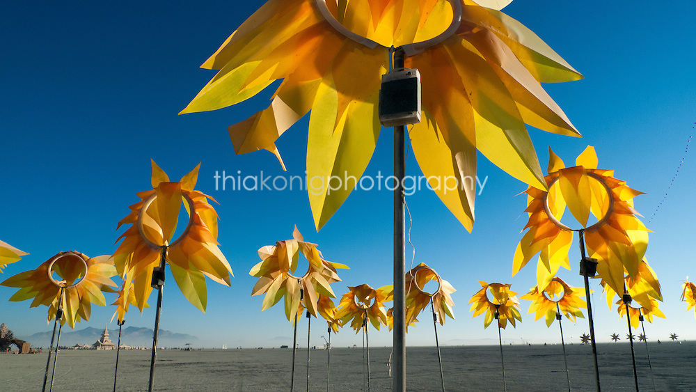 Bright yellow sunflowers pop out of the desert in an art installation at Burning Man 2012.