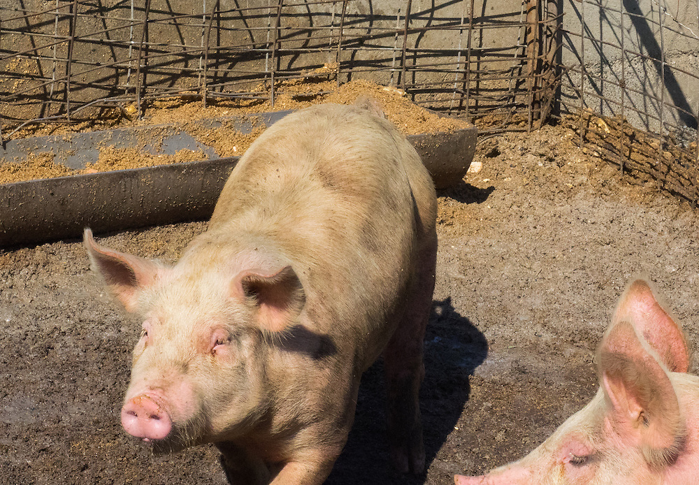 Future bacon at Pacheco Ranch & Achandinha Cheese Company