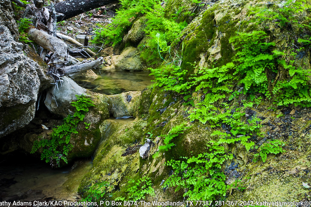 Spring fed stream in the Texas Hill Country, central Texas. Maidenhair ferns growing on the banks.