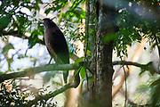 Crested Serpent Eagle (Spilornis cheela) perched on branch. Kaeng Krachan National Park. Thailand.