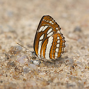 Neptis hylas, known as the Common Sailer, is a species of Nymphalidae butterfly found in South Asia and Southeast Asia. It has a characteristic stiff gliding flight achieved by short and shallow wingbeats just above the horizontal.