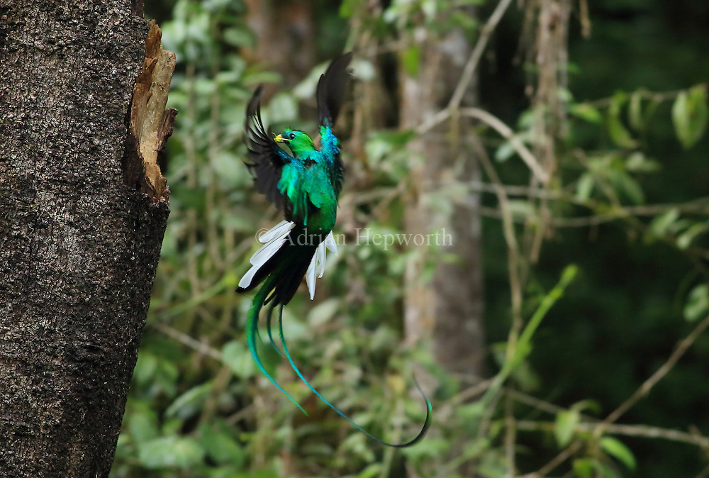 Male resplendant quetzal (Pharomachrus mocinno) flying to nest in cloud forest, San Gerardo de Dota, Cerro de la Muerte, Costa Rica.