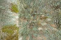 Common beech (Fagus sylvatica) bark detail with lichens, Basilicata/Calabria, Pollino National Park, Italy. November 2008. Mission: Pollino National Park; double exposure