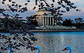 Cherry Blossoms_Tidal Basin DC