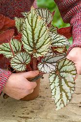 Taking leaf cuttings from a begonia using the 'Leaf Slashing' method<br /> Removing leaf