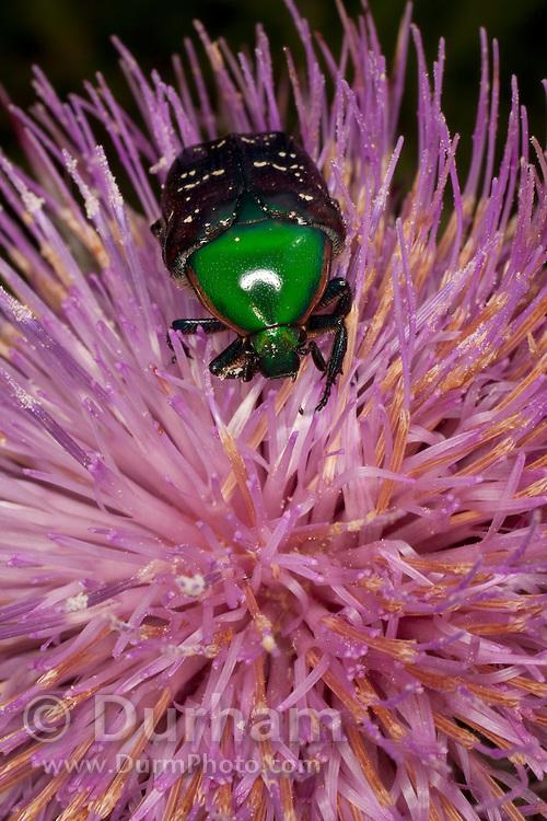 An euphoria beetle (euphoria fulgida) collecting nectar from a thistle flower.   Central Texas.