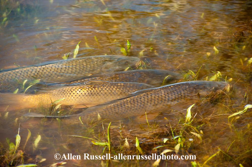 Tongue River Reservoir State Park, Montana, Common Carp, Cyprinus carpio, spawning in lake