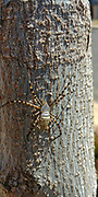 Wasp spider (Argiope bruennichi). This is a large and easily identifiable orb weaving spider whose abominable markings give the spider its name. Normally found in warmer parts of mainland Europe, north Africa, Middle East and parts of Asia. Photographed in Israel in April