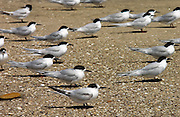 White-fronted terns (Sterna Striata) on a beach near South Head ,  North Island, New Zealand
