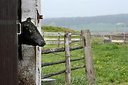 Tsjechie, Vsestary, 28-4-2004Koeien in de stal van een grootschalig landbouwbedrijf, overgenomen door een Nederlandse ondernemer. Foto: Flip Franssen/Hollandse Hoogte