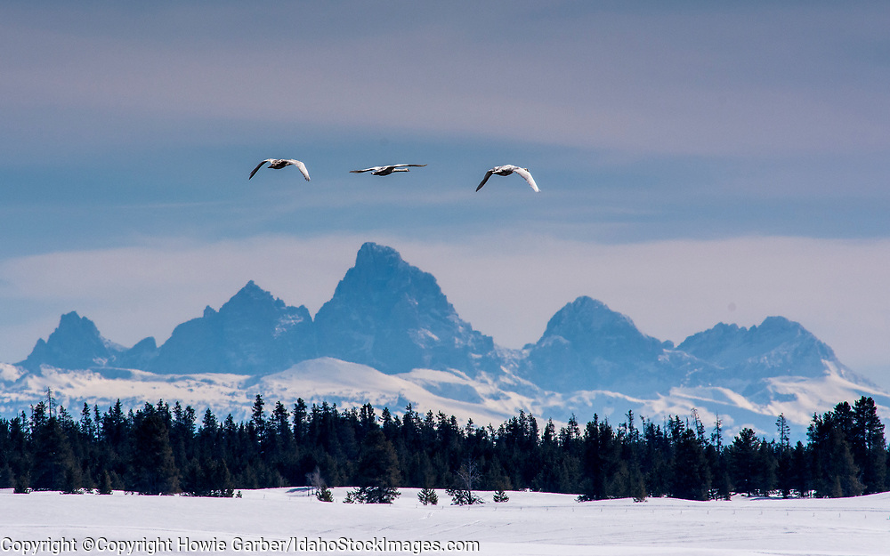 Trumpeter Swans on the Harriman Ranch in Idaho with the Tetons in the background