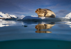 Bearded seal (Erignathus barbatus) on ice floe in Svalbard, Norway