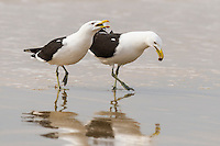 A pair of Kelp Gulls display to one another on the seas edge, Buffalo Bay, Southern Cape, South Africa
