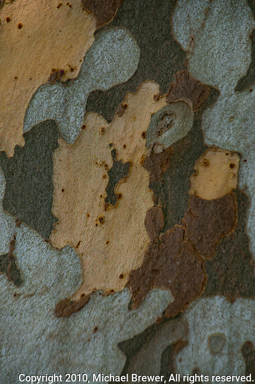 Camouflage tree bark texture found on a tree in Minusio  Ticino, Southern Switzerland. Close-up.