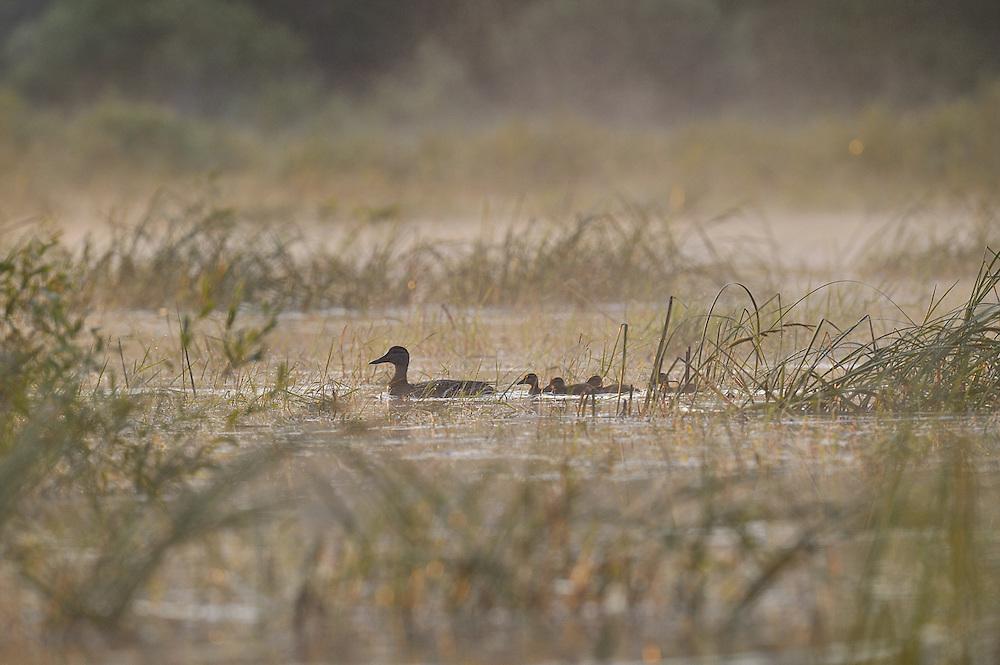 Ducks on marsh on misty morning in Northern Ontario, Canada.
