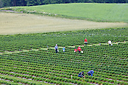 Self-picking of organic strawberries, Ali-alhan organic farm