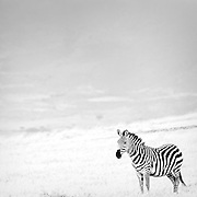 Zebra in the Ngorongoro Conservation Area.
