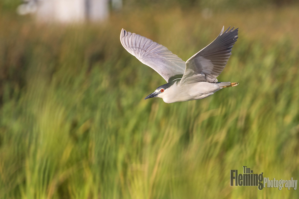 Black-crowned night-heron flying over marsh in Petaluma, California