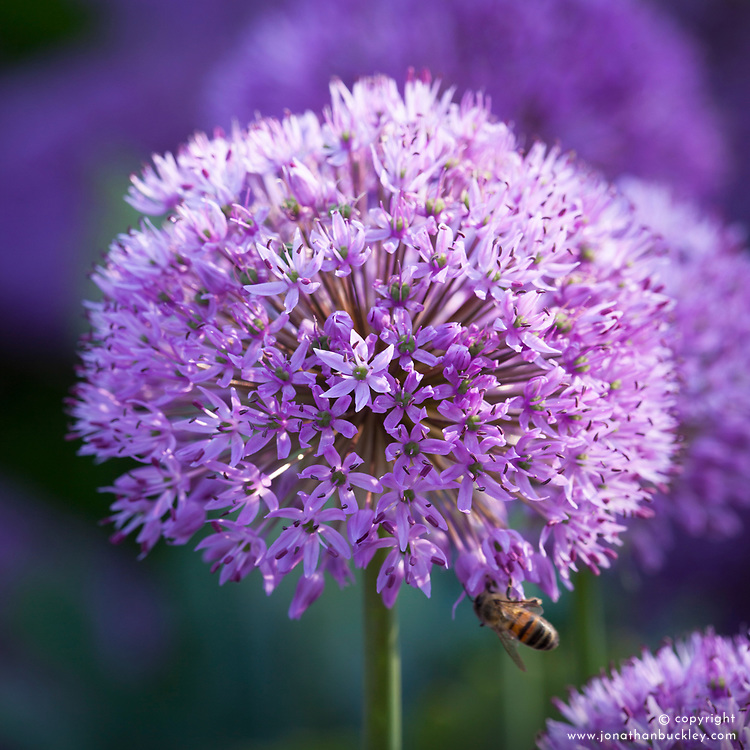 Allium hollandicum