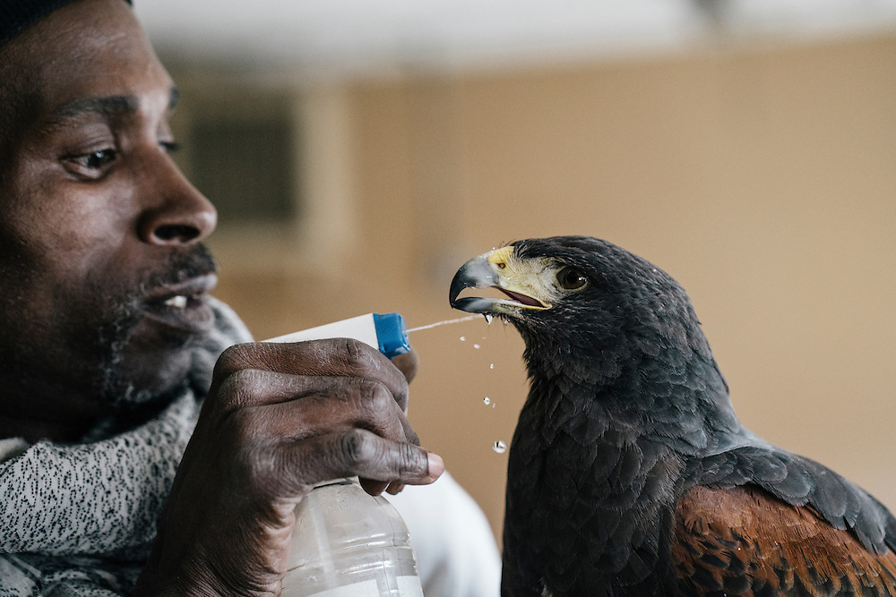 Rodney Stotts gives his Harris Hawk, Agnes, some water at the Wings Over America raptor sanctuary in Maryland on March 17, 2016. Stotts takes the birds out for hunts around the property, with the raptor following closely behind their owner waiting for prey.