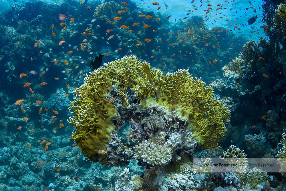 Net fire coral-Corail de feu (Millepora dichotoma) of Red Sea.