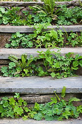 Self sown seedlings growing in risers of steps at Glebe Cottage. Includes Alchemilla mollis and geraniums