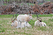 Addax (Addax nasomaculatus), also known as the screwhorn antelope, is a critically endangered desert antelope that lives in several isolated regions in the Sahara desert.