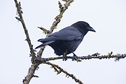 An American crow (Corvus brachyrhynchos) rests on the weathered branch of a cherry tree in Snohomish County, Washington.