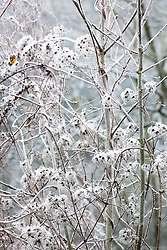 Fluffy seedheads of Old Man's Beard (Travellers Joy) in frost. Clematis vitalba