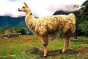 PERU, HIGHLANDS, ANDES MOUNTAINS a llama in a field near Cuzco