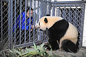 America born Giant Panda Returns to China