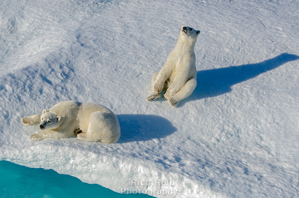 Polar bear cubs on the sea ice in Prince Regent Inlet off Somerset Island in Nunavut, Canada.