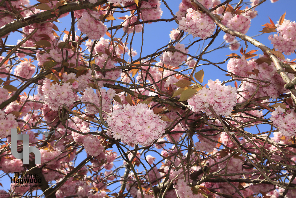Cherry Blossom Humbie Woods Spring 12-05-10