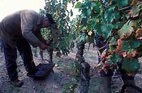 Wine harvest in Pomerol, Bordeaux region, France -