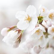 Nikon 105.0 mm f/2.8 #cherryblossoms #cherryblossomsDC