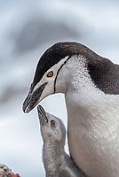 Chinstrap penguin feeding a chick, Pygoscelis antarcticus on Half Moon Island in the South Shetland Islands, Antarctica.