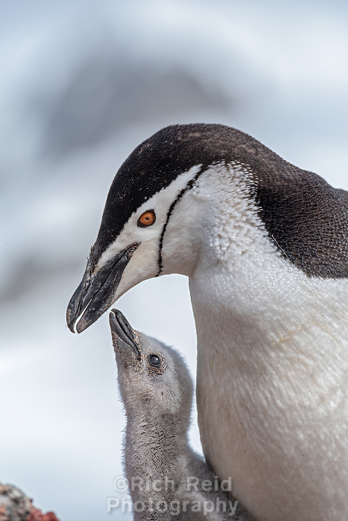 Chinstrap penguin feeding a chick, Pygoscelis antarcticus on Half Moon Island in the South Shetland Islands, Antarctica.