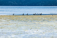 Canadian geese on Crescent Beach on Orcas Island feeding in the tidal flats, Washington, USA.