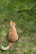 Orange Tabby Cat sittingin the tall grass