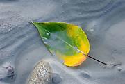Leaf lying in glacial silt of the Delta River Alaska